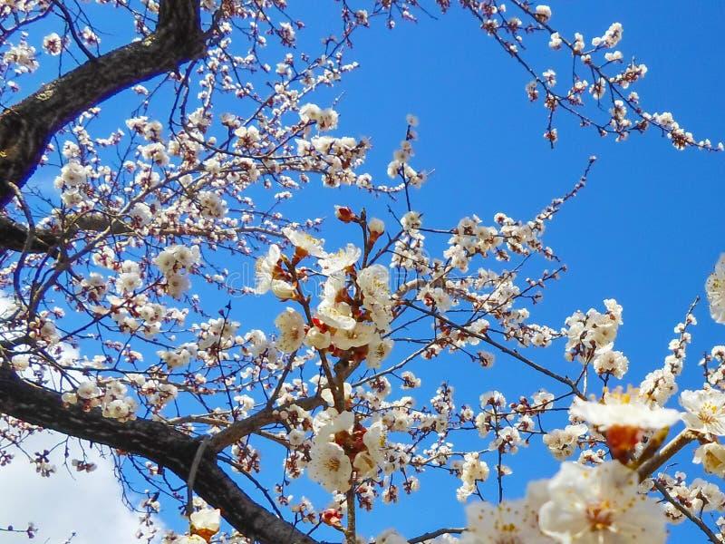 Λουλούδια του δέντρου βερικοκιών στοκ εικόνες