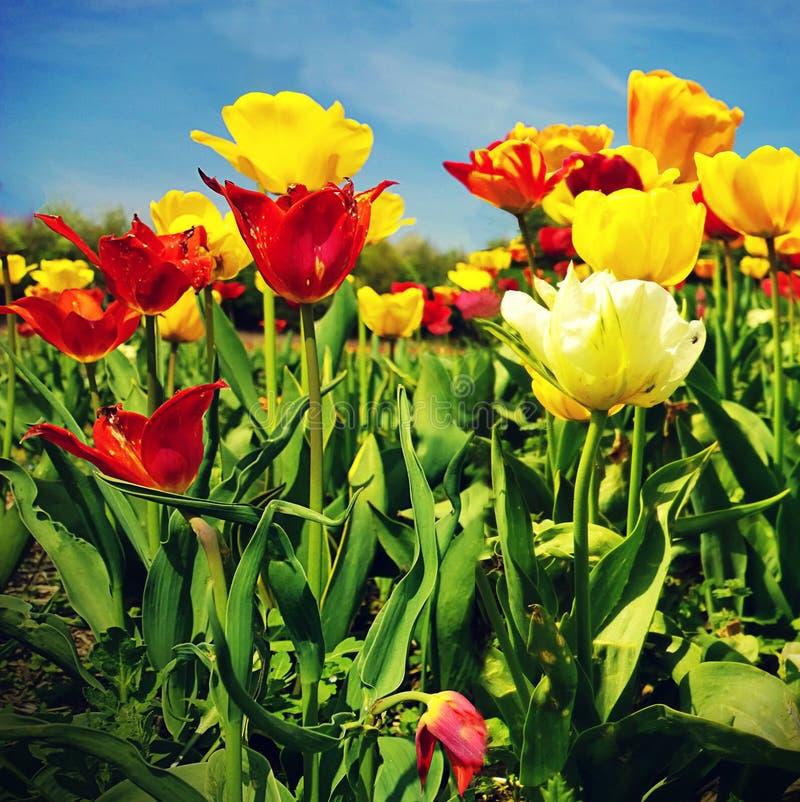 Λουλούδια τουλιπών σε μια όμορφη ημέρα της άνοιξη στοκ φωτογραφία με δικαίωμα ελεύθερης χρήσης