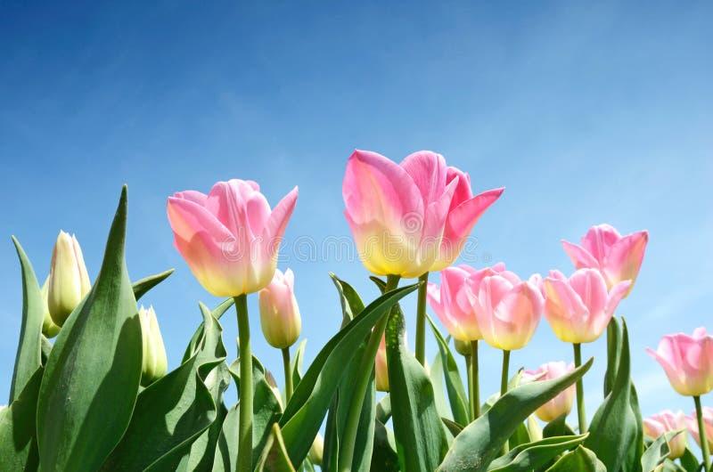 Λουλούδια τουλιπών στη μέση του τομέα τουλιπών oagainst το SK στοκ εικόνα