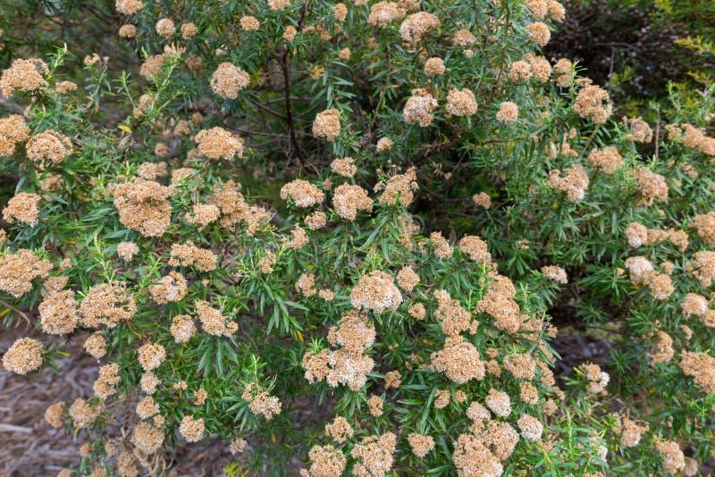 Λουλούδια του συνεχούς θάμνου δέντρων, ferrugineus Ozothamnus στο TAS στοκ εικόνα με δικαίωμα ελεύθερης χρήσης
