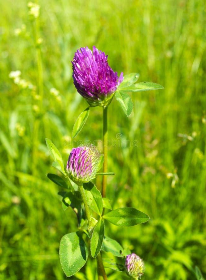 Λουλούδια τριφυλλιού στον ήλιο στον τομέα στοκ εικόνα με δικαίωμα ελεύθερης χρήσης