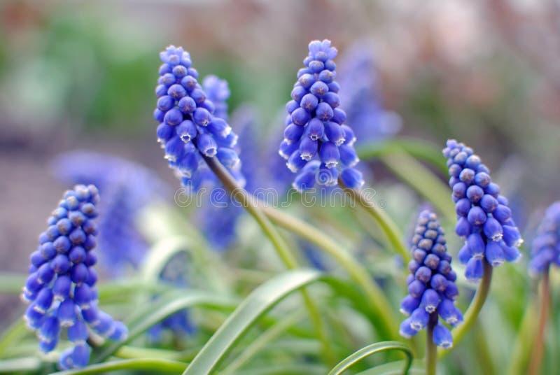 Λουλούδια υάκινθων στοκ εικόνες