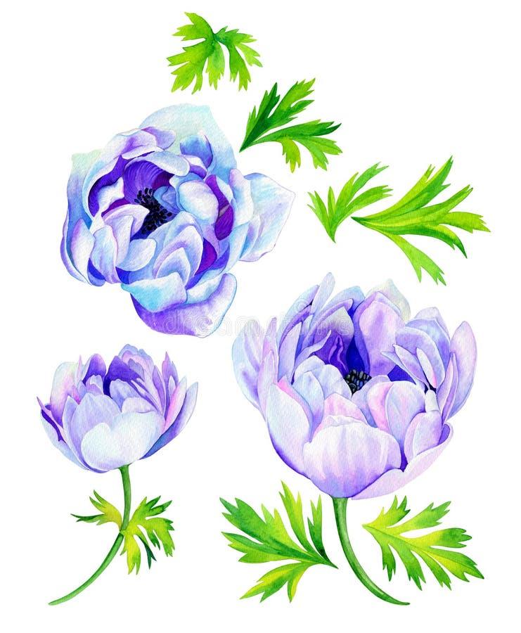 Λουλούδια Anemone ελεύθερη απεικόνιση δικαιώματος