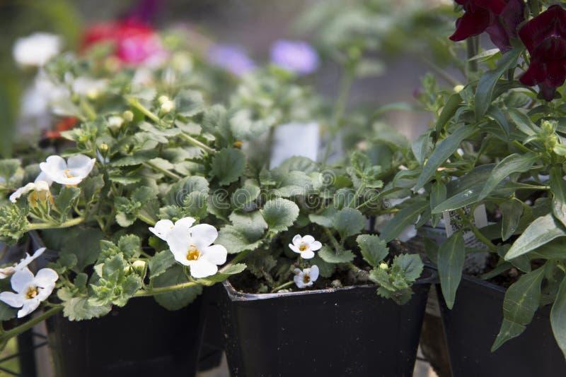 Λουλούδια Bacopa στο θερμοκήπιο στοκ φωτογραφίες με δικαίωμα ελεύθερης χρήσης