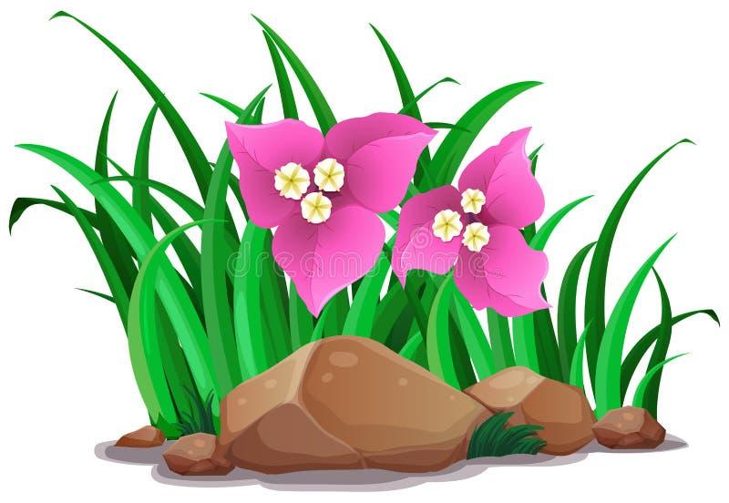 Λουλούδια Bougainvillea στον πράσινο θάμνο ελεύθερη απεικόνιση δικαιώματος