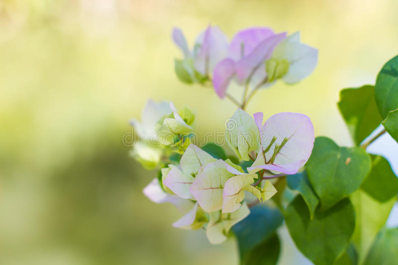 Download Λουλούδια Bougainvillea στοκ εικόνα. εικόνα από άνοιξη - 62708583