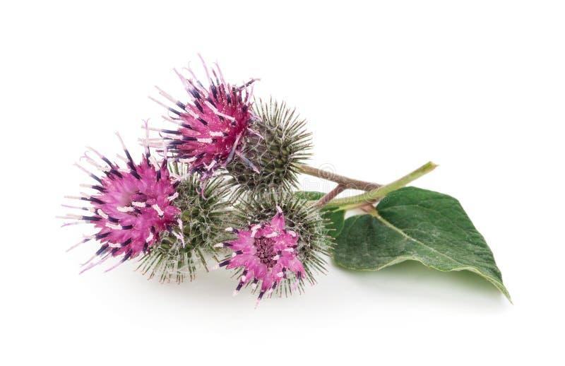 Λουλούδια Burdock στοκ εικόνα