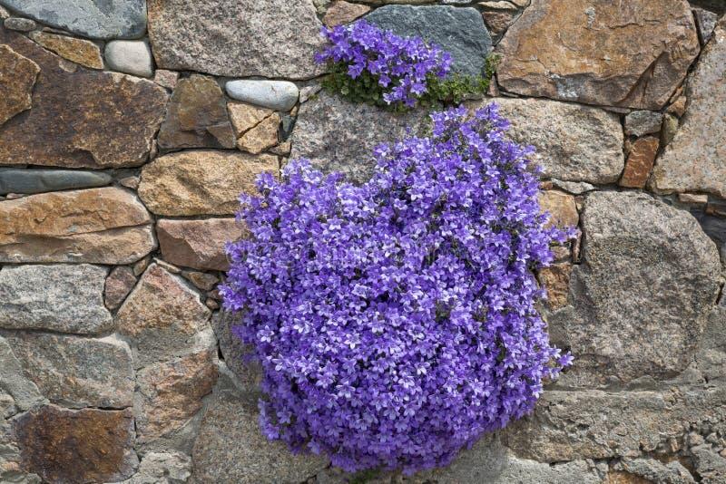 Λουλούδια Campanula στοκ εικόνα