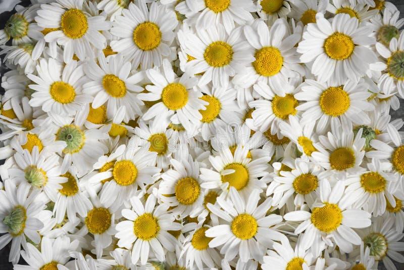 Λουλούδια Chamomile στοκ εικόνες