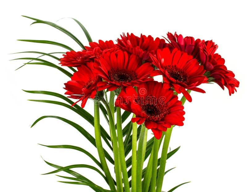 Λουλούδια Gerber, μαργαρίτες που απομονώνονται στο λευκό στοκ εικόνες
