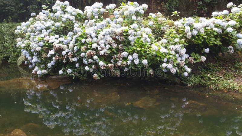 Λουλούδια hortencia ομορφιάς στοκ εικόνες