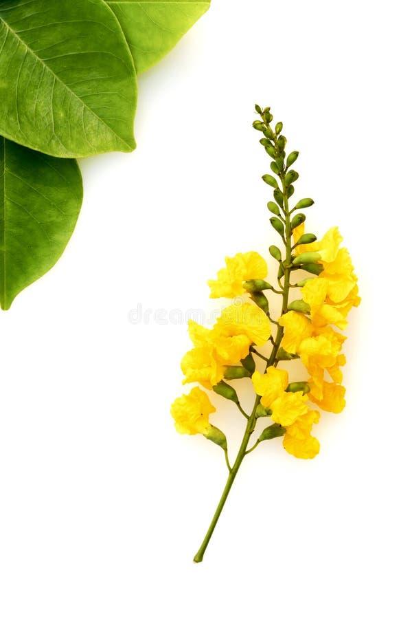 Λουλούδια Padauk και πράσινα φύλλα στο άσπρο υπόβαθρο στοκ εικόνα με δικαίωμα ελεύθερης χρήσης