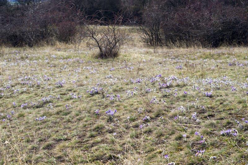 Λουλούδια Pasque στην άνοιξη στοκ εικόνες