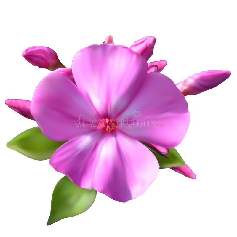 Λουλούδια Phlox διανυσματική απεικόνιση