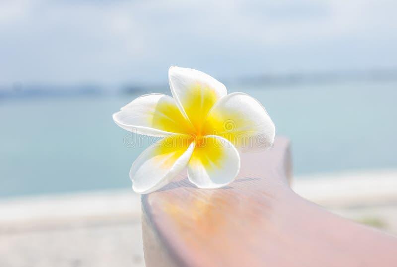 Λουλούδια Plumeria, άσπρα λουλούδια στοκ εικόνα