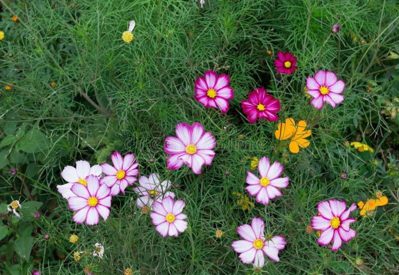 Λουλούδια Primula στοκ εικόνα