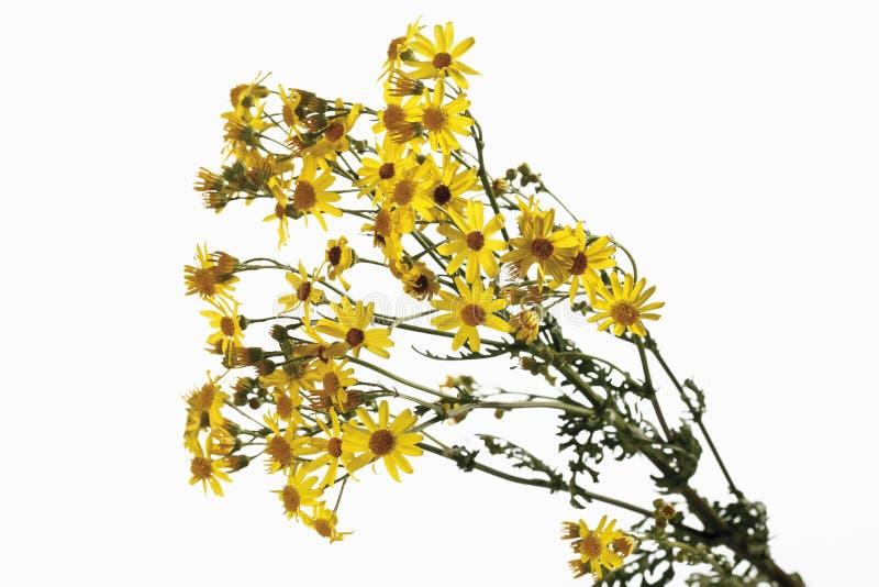 Λουλούδια Ragwort (jacobaea Senecio) στοκ εικόνα