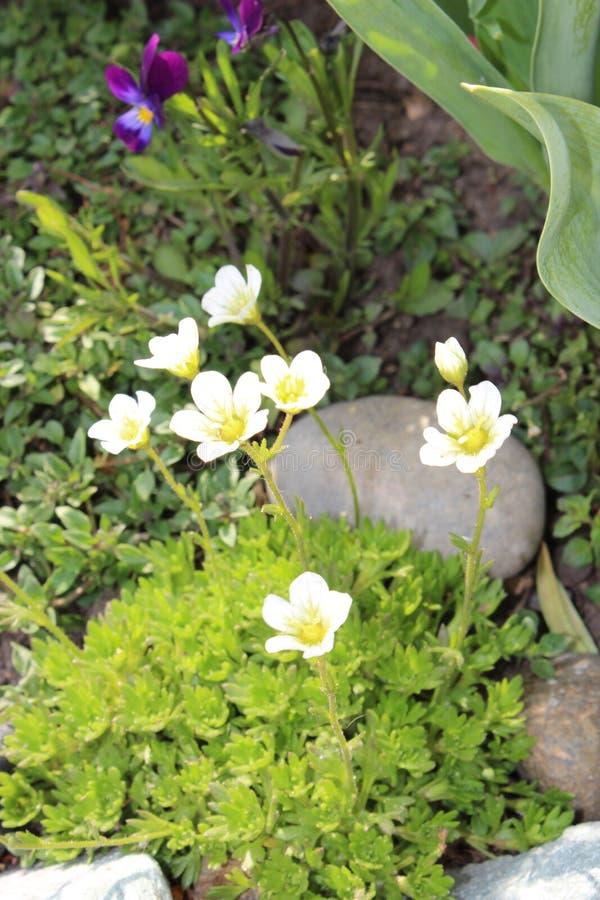 Λουλούδια Saxifrage στον κήπο στοκ φωτογραφίες με δικαίωμα ελεύθερης χρήσης