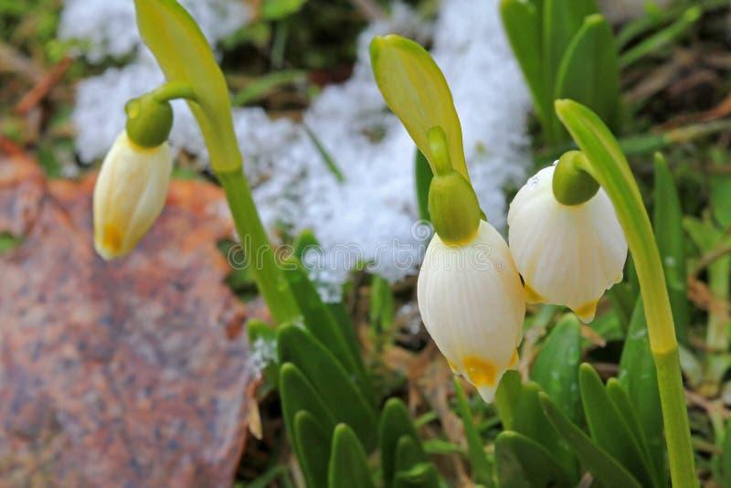 Λουλούδια Snowdrop (Galanthus) με κάποιο λειώνοντας χιόνι στοκ φωτογραφία με δικαίωμα ελεύθερης χρήσης