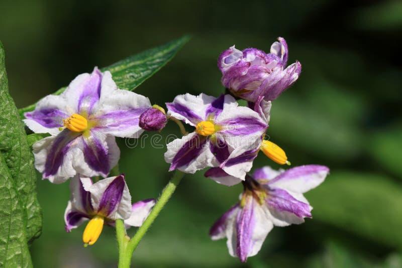 Λουλούδια Solanum του muricatum στοκ εικόνες