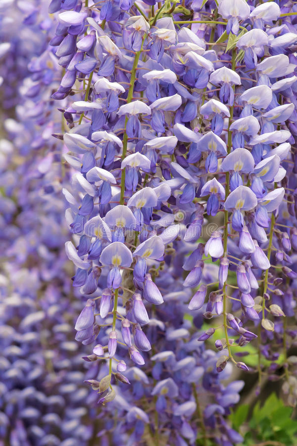 Λουλούδια Wisteria με το άνοιγμα του πράσινου υποβάθρου στοκ φωτογραφίες