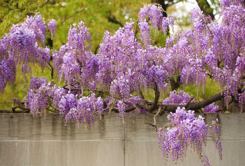 Λουλούδια Wisteria με το άνοιγμα του πράσινου υποβάθρου στοκ φωτογραφία με δικαίωμα ελεύθερης χρήσης