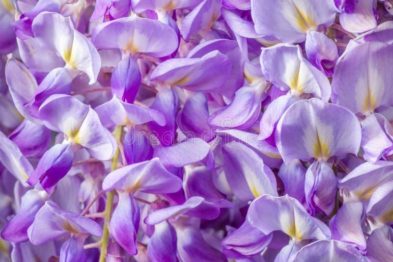 Λουλούδια Wisteria με το άνοιγμα του πράσινου υποβάθρου στοκ φωτογραφία