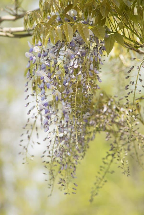 Λουλούδια Wisteria που κρεμούν από έναν κλάδο σε ένα φυσικό πράσινο υπόβαθρο στοκ εικόνα