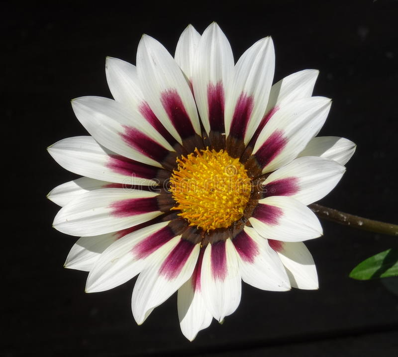 Λουλούδι άνοιξη της Νίκαιας στοκ εικόνες με δικαίωμα ελεύθερης χρήσης