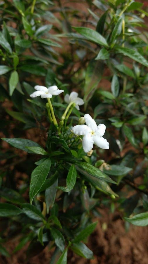 Λουλούδι (άσπρο) στοκ εικόνες