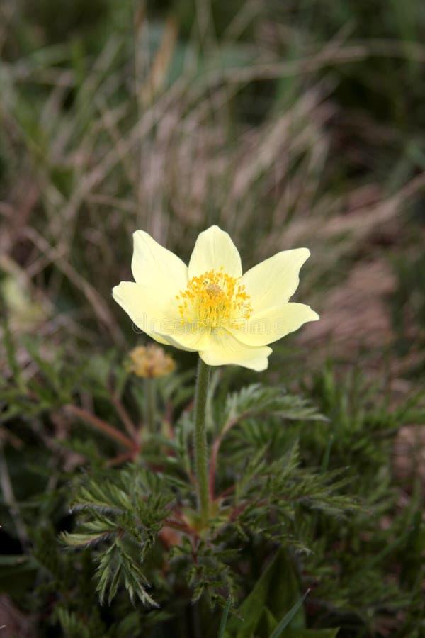 Λουλούδι Άλπεων στοκ φωτογραφία με δικαίωμα ελεύθερης χρήσης