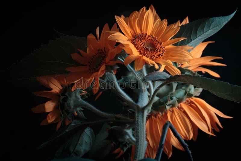 Λουλούδι ήλιων στοκ εικόνα