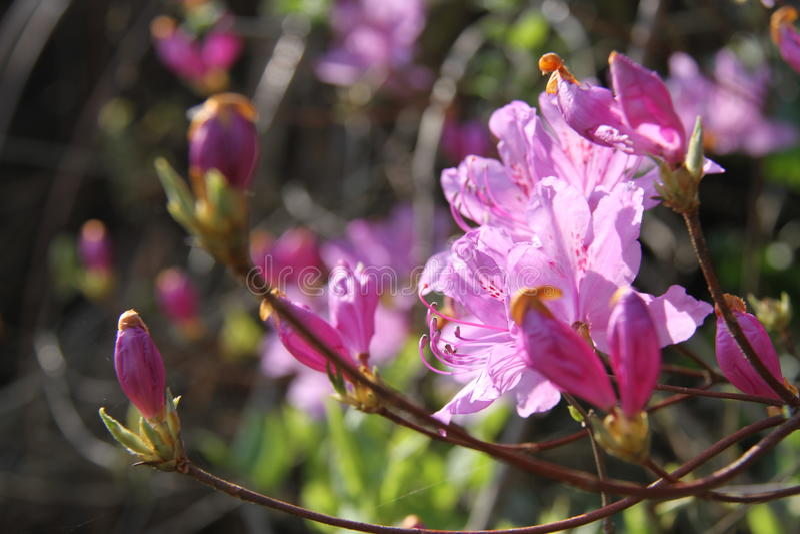 Λουλούδι, αζαλέα, Burgundy rhododendrons στοκ φωτογραφίες