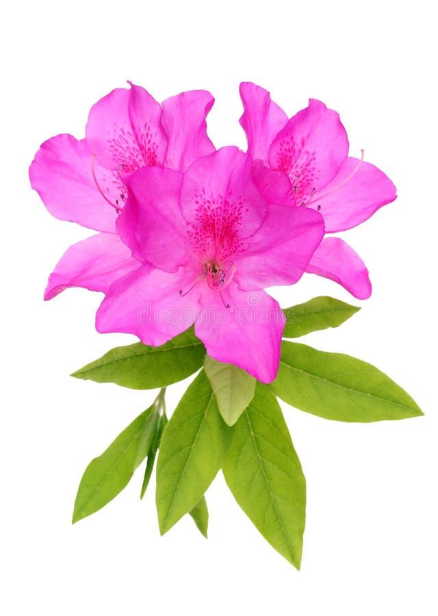 Λουλούδι αζαλεών στοκ εικόνες
