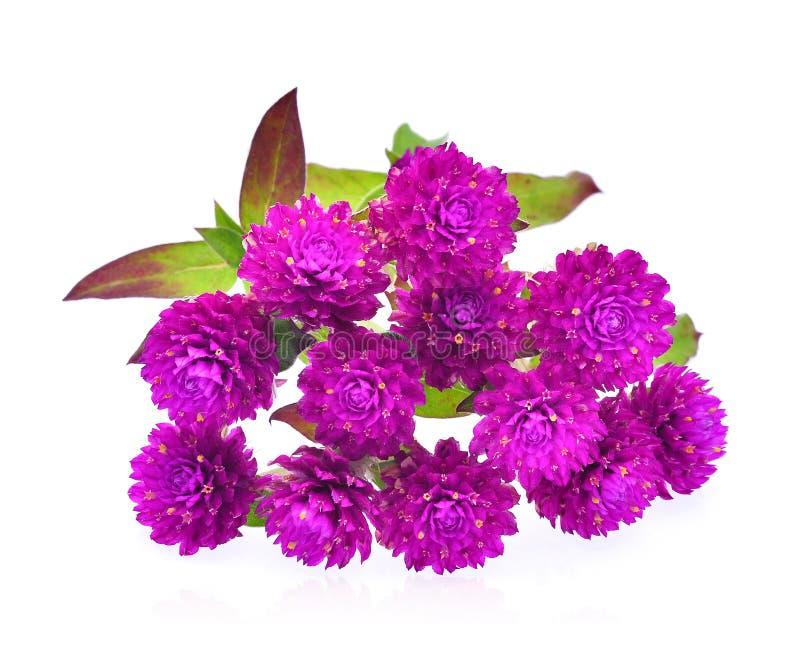 Λουλούδι αμάραντων σφαιρών που απομονώνεται στο άσπρο υπόβαθρο στοκ φωτογραφίες με δικαίωμα ελεύθερης χρήσης