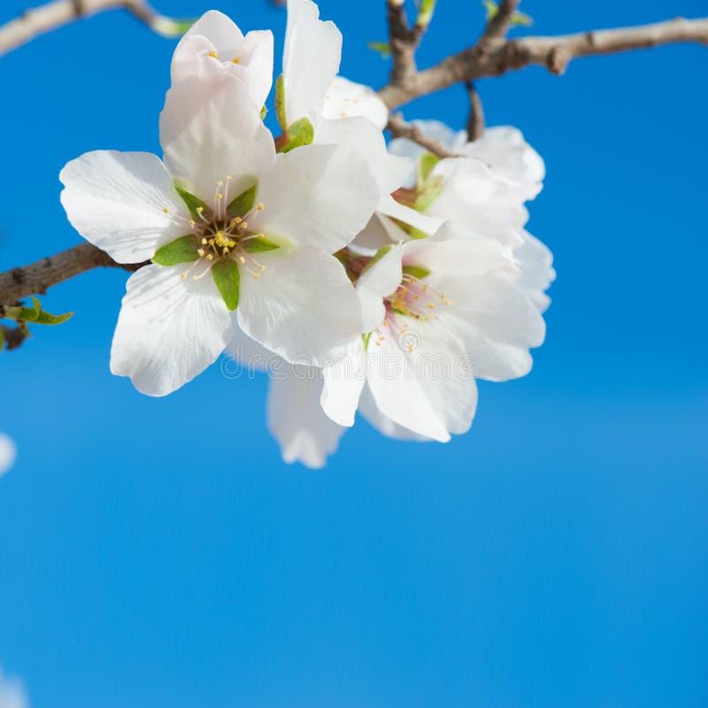 Λουλούδι αμυγδάλων στοκ φωτογραφίες