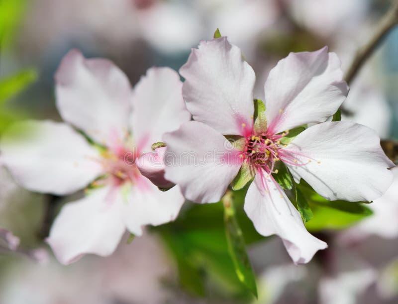 Λουλούδι αμυγδάλων στοκ φωτογραφίες με δικαίωμα ελεύθερης χρήσης