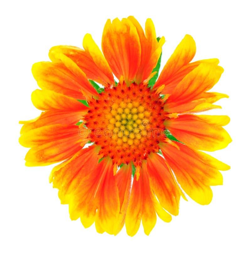 Λουλούδι αστέρων στοκ φωτογραφία