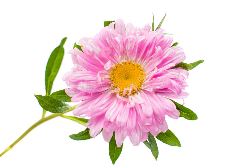 Λουλούδι αστέρων στοκ φωτογραφίες