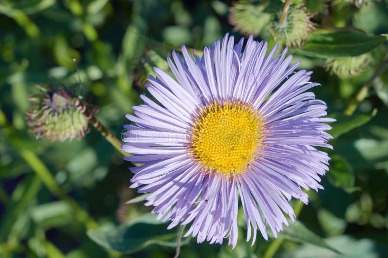Λουλούδι αστέρων στοκ φωτογραφίες με δικαίωμα ελεύθερης χρήσης