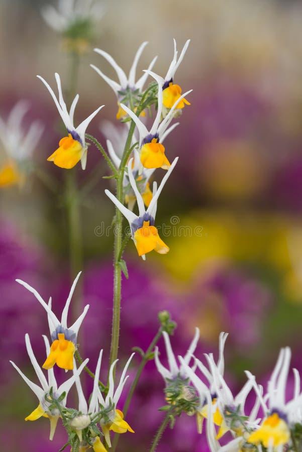 Λουλούδι αστεριών πυροβολισμού στοκ εικόνες
