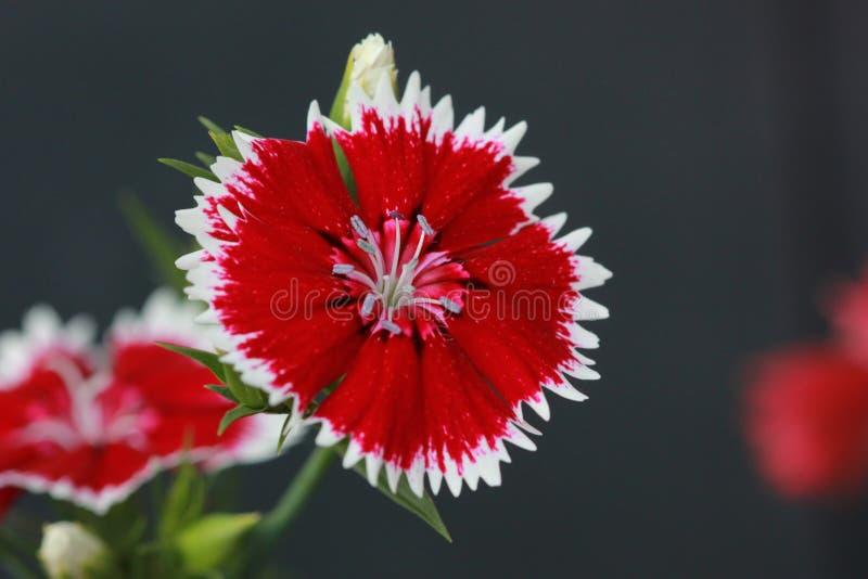 Λουλούδι αχύρου στοκ φωτογραφίες με δικαίωμα ελεύθερης χρήσης