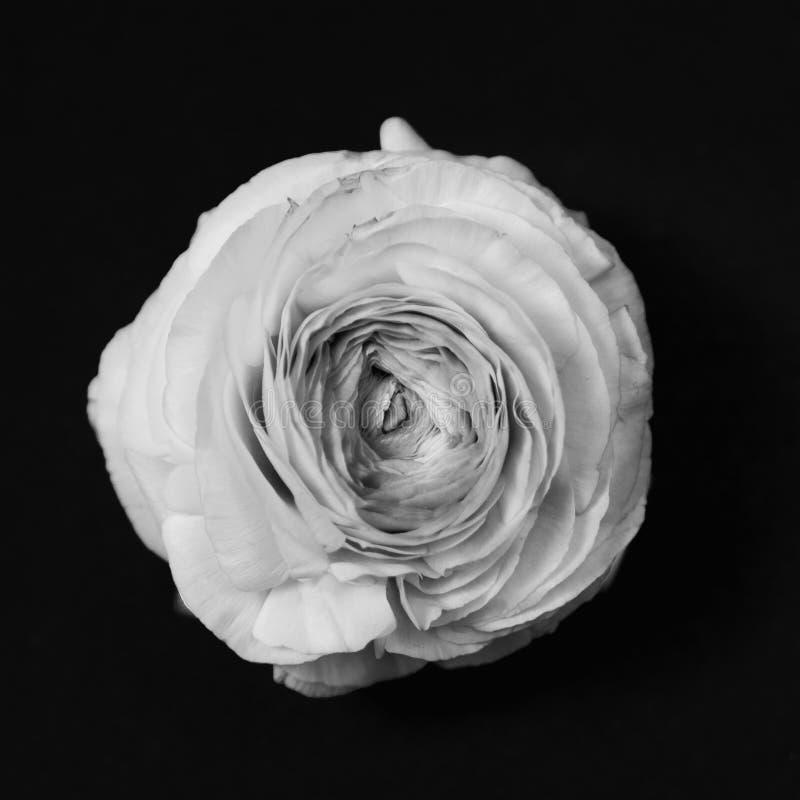 Λουλούδι βατραχίων νεραγκουλών, μονοχρωματικός που μετατρέπεται στοκ φωτογραφία με δικαίωμα ελεύθερης χρήσης
