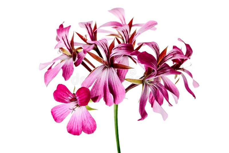 Λουλούδι γερανιών στοκ εικόνες