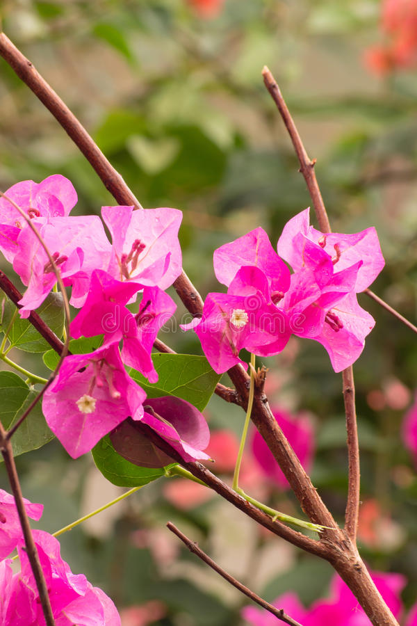 Λουλούδι εγγράφου στον κήπο στην Ταϊλάνδη. στοκ εικόνα
