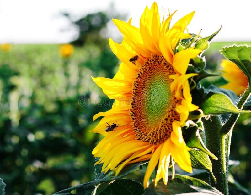 Λουλούδι ηλίανθων με τις μέλισσες στοκ φωτογραφίες