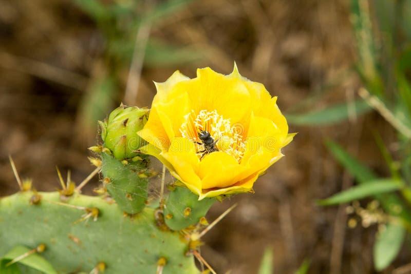 Λουλούδι κάκτων τραχιών αχλαδιών στοκ φωτογραφία με δικαίωμα ελεύθερης χρήσης