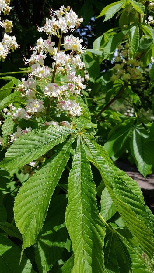 Λουλούδι κάστανων στοκ εικόνες
