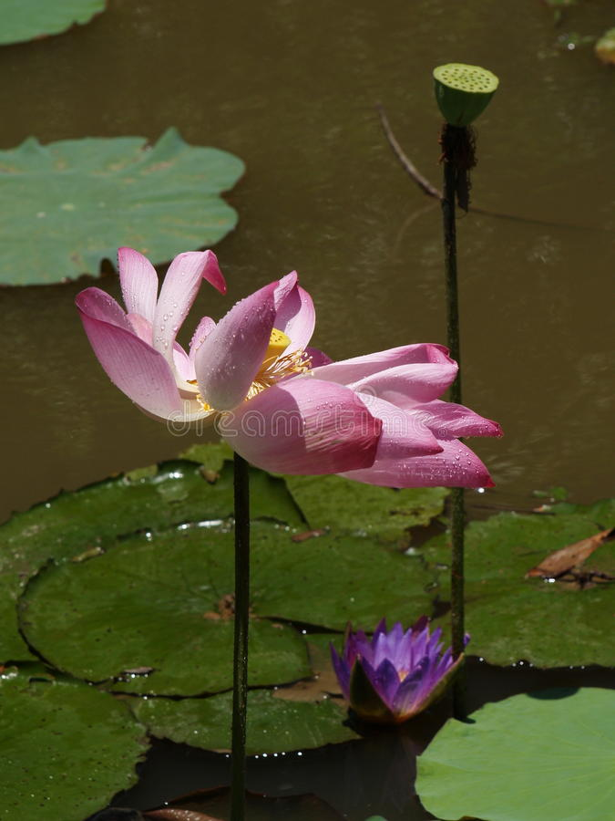 Λουλούδι και εγκαταστάσεις Lotus στοκ εικόνες