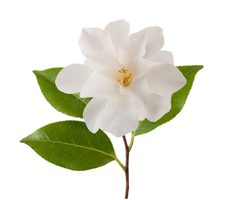 Λουλούδι καμελιών στοκ φωτογραφίες με δικαίωμα ελεύθερης χρήσης